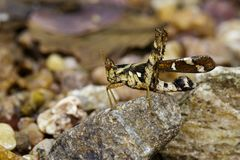 Image of Conjoined Spot Monkey-grasshopper female. Royalty Free Stock Image