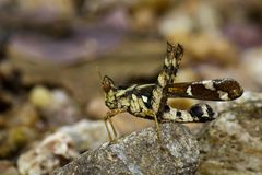 Image of Conjoined Spot Monkey-grasshopper female, Stock Photography