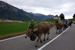Queen Cows Lead a Parade in Switzerland royalty free stock image