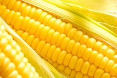 Image of Corn ears. Ears of fresh corn isolated Royalty Free Stock Image