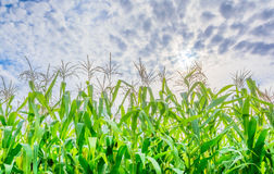 Image of corn field and sky in background.  Royalty Free Stock Image