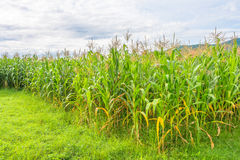 image of corn field and sky in background Stock Photos