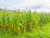 image of corn field and sky in background Stock Photo