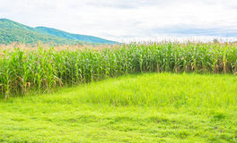 image of corn field and sky in background Stock Images