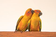 Image of a couple of parrots - the Sun Conure Stock Photos