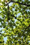 Image courante de l'image courante de la feuille verte image libre de droits