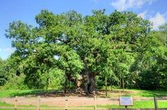 Image courante de Major Oak, Sherwood Forest, Nottinghamshire Images libres de droits