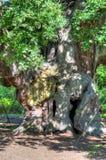 Image courante de Major Oak, Sherwood Forest, Nottinghamshire Image libre de droits