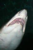 Image courante de Tiger Shark (Galeocerdo cuvier) photos libres de droits