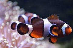 Image courante des poissons de clown ou des poissons d'anémone Images libres de droits