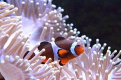 Image courante des poissons de clown ou des poissons d'anémone Photo stock