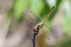 Image of crimson dropwing dragonflyfemale/Trithemis aurora. Royalty Free Stock Images