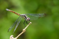 Image of crimson dropwing dragonflyfemale/Trithemis aurora. Stock Images