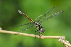 Image of crimson dropwing dragonflyfemale/Trithemis aurora. Stock Photos