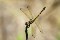 Image of crimson dropwing dragonflyfemale/Trithemis aurora. Royalty Free Stock Photo