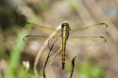 Image of crimson dropwing dragonflyfemale/Trithemis aurora. Stock Photography