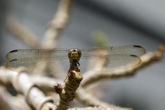 Image of crimson dropwing dragonflyfemale/Trithemis aurora. Stock Image