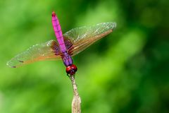 Image of crimson dropwing dragonflyMale/Trithemis aurora on na Stock Photos