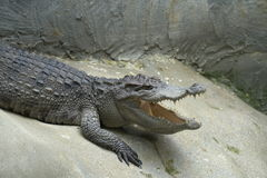 Image of a Crocodile opened mouth and eyes Resting In A Crocodil. Es Farm Stock Image