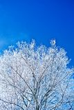 Image of crone snowed tree with copyspace Stock Photography