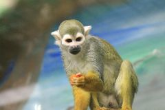 An image of a curious little monkey stock image