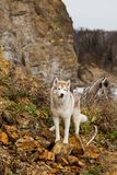 Image of cute Beige and white Siberian Husky dog standing on the rocks at seaside. One day with gorgeous husky dog on the shore of. The sea in summer stock photos
