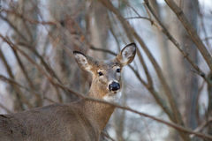 Image with the cute deer in the trees Royalty Free Stock Photos
