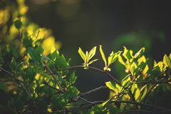 Beautiful fresh green leaves on the branch at sunset. Schisandra chinensis greenery in spring. Image of cute fresh green leaves on the branch at sunset stock photography