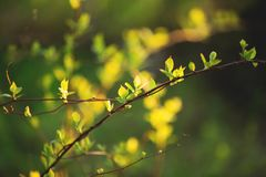 Beautiful fresh green leaves on the branch at sunset. Schisandra chinensis greenery in spring. Image of cute fresh green leaves on the branch at sunset royalty free stock photos