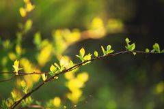 Beautiful fresh green leaves on the branch at sunset. Schisandra chinensis greenery in spring. Image of cute fresh green leaves on the branch at sunset stock photo