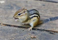 Image of a cute funny chipmunk eating something. Photo of a cute funny chipmunk eating something stock photo