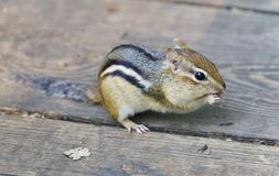 Image of a cute funny chipmunk eating something. Photo of a cute funny chipmunk eating something stock image