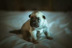 Image of cute little puppy closeup indoor Royalty Free Stock Photo