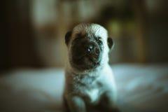 Image of cute little puppy closeup indoor Stock Photos