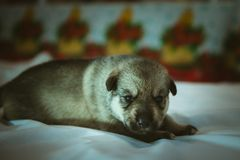 Image of cute little puppy closeup indoor Stock Photography