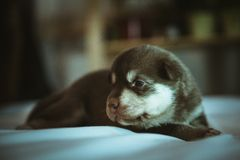 Image of cute little puppy closeup indoor Stock Images