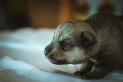 Image of cute little puppy closeup indoor Royalty Free Stock Photos