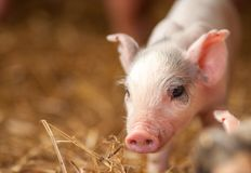 This little piggy is newly born on a local farm. This image is of a cute piglet standing in the hay.  A concept can be youth, child and family stock photography