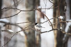 Image of cute and tiny marsh tit bird sitting on the branch in the winter forest royalty free stock photography