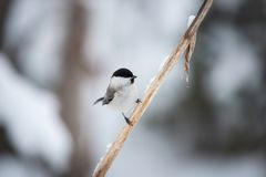 Image of cute and tiny marsh tit bird sitting on the branch in the winter forest stock photography