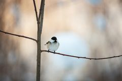 Image of cute tiny marsh tit bird sitting on the branch in the winter forest royalty free stock images
