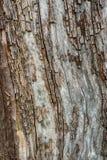 Image détaillée d'écorce d'arbre de écaillement Photographie stock libre de droits