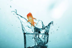 image 3D composée de la natation de poisson rouge avec la bouche ouverte contre l'écran blanc Photo stock