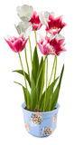 Image d'isolement des fleurs dans un plan rapproché de pot Image libre de droits