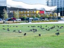 Image d'oie de bernache sur un pré vert photographie stock