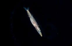 Image d'un barracuda larvaire la nuit image stock
