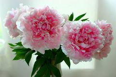 Image d'un bouquet des pivoines roses fraîches sur brouillées Images libres de droits