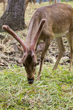 Image d'un cerf commun de sambar mâchant l'herbe Photos stock
