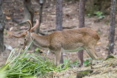 Image d'un cerf commun de sambar mâchant l'herbe Image libre de droits