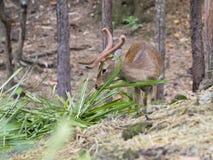 Image d'un cerf commun de sambar mâchant l'herbe Images stock